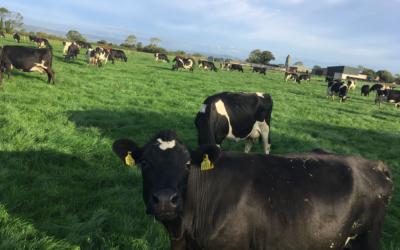 Irish Dairy Farming (Autumn)