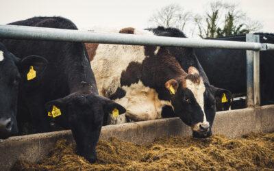 Irish Dairy Farming (Winter)
